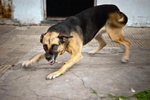 img_what_to_do_if_a_rabid_dog_bites_someone_1239_paso_0_600